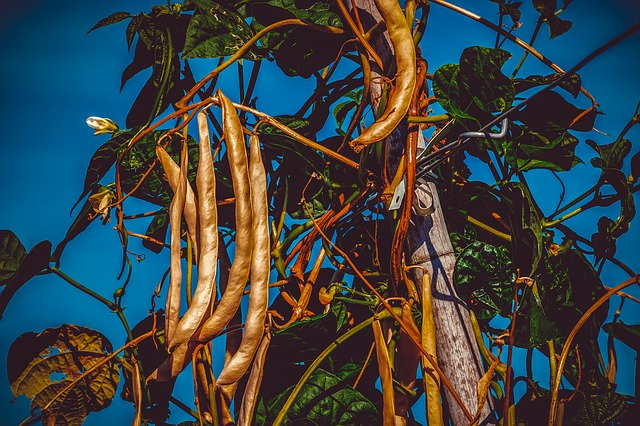 bush fazole